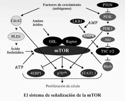 mTOR1_es