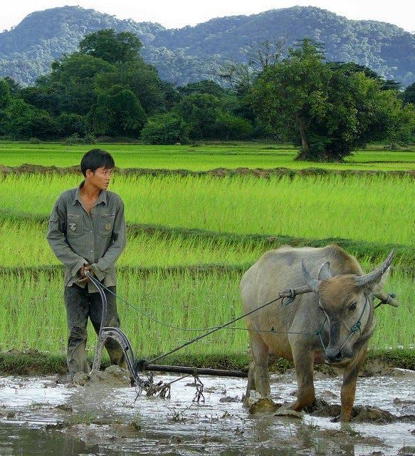 ¿Por qué muchos asiáticos, que comen arroz, son delgados?