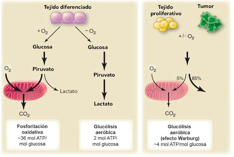 oxígeno en el metabolismo completo de la glucosa en diabetes