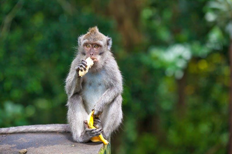 Mono comiéndose un plátano