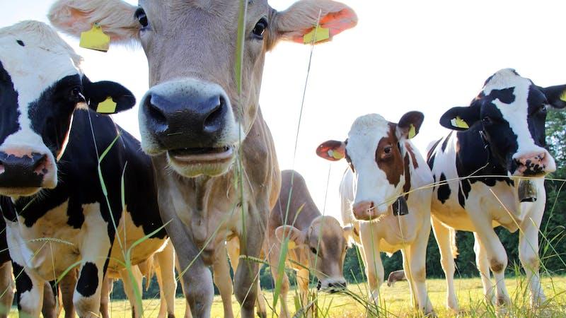 Vacas en el pasto