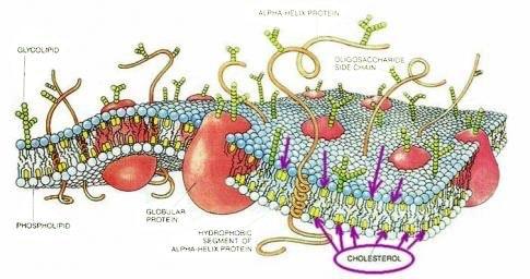 vad höjer kolesterolet