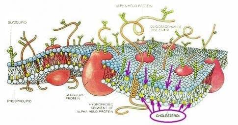 Cellmembran