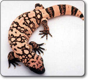 gila_monster