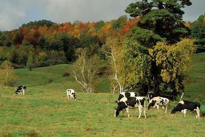Kor som betar