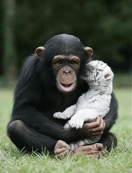 tiger-och-chimpans-2