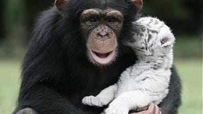 OT: Schimpans blir bästis med vit tiger