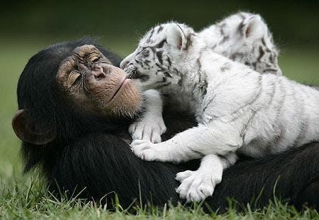 tiger-och-chimpans