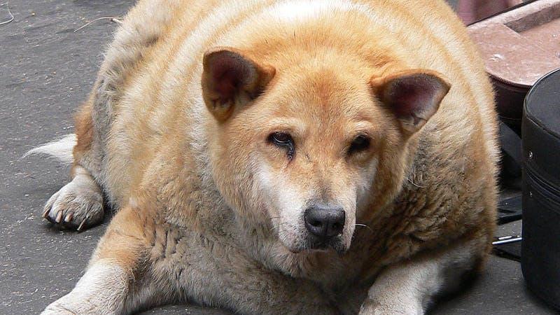 Feta hundar och bantningsmedicin.