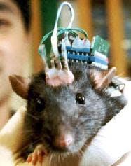 Blir råttan fet eller mätt av fett?