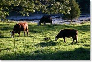 Lista på gräsbeteskött