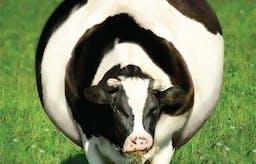 Kan man bli tjock av antibiotika?