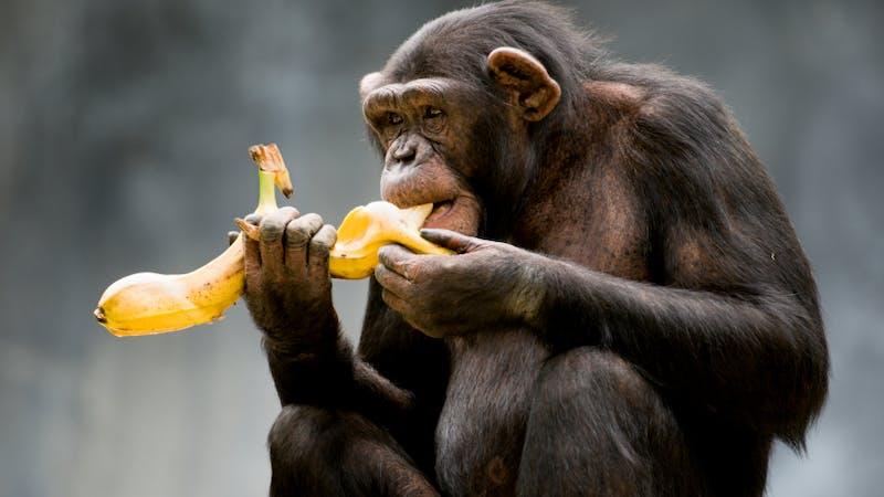 Apor får inte längre äta bananer