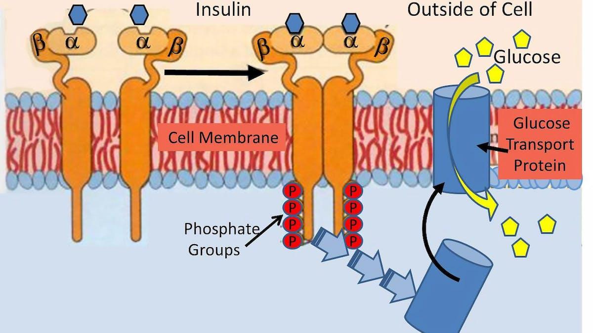 Insulinresistens – det nya paradigmet