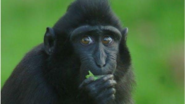 """Inga fler bananer för aporna – som att ge dem """"kakor och choklad"""""""