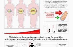Därför är kvoten mellan midjemått och längd ett effektivt sätt att mäta hälsa
