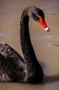 swan-945385_1920-267×402