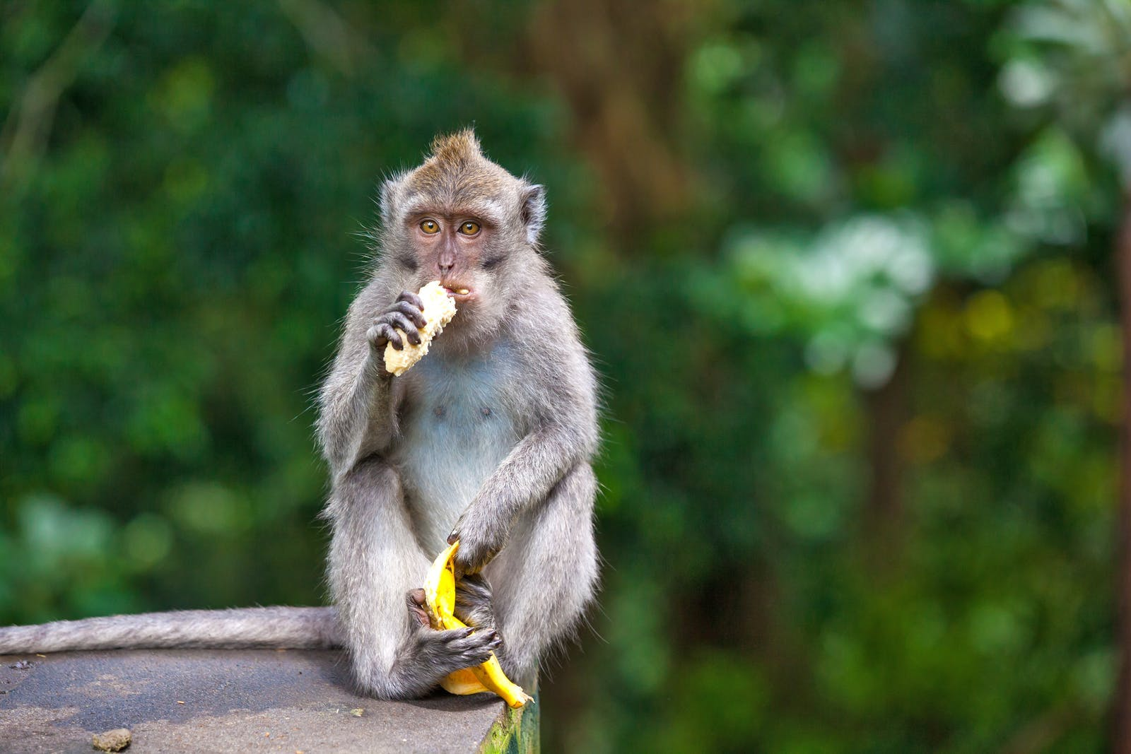 Cute monkeys lives in Ubud Monkey Forest, Bali, Indonesia.