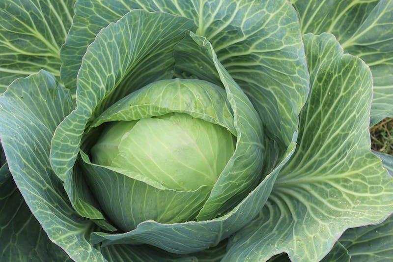 white-cabbage-432608_1920