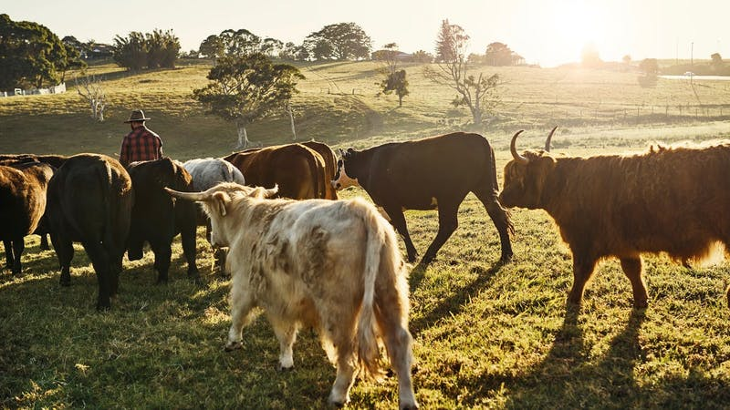 Farmer-man-and-his-cows