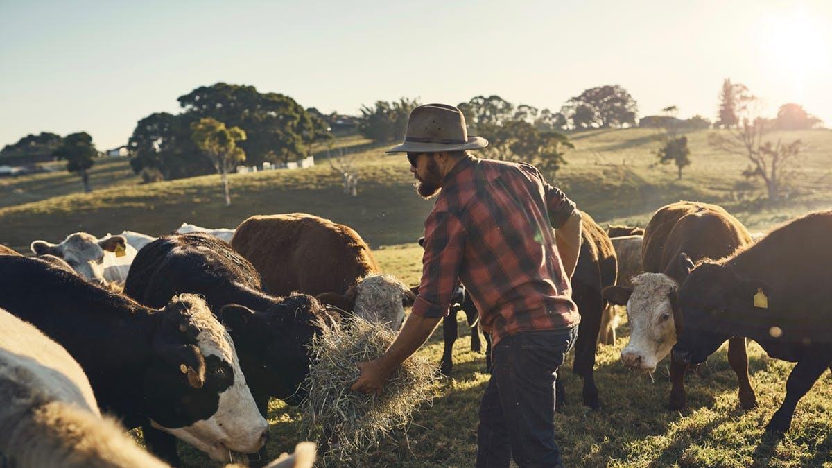 Man-feeding-his-cows