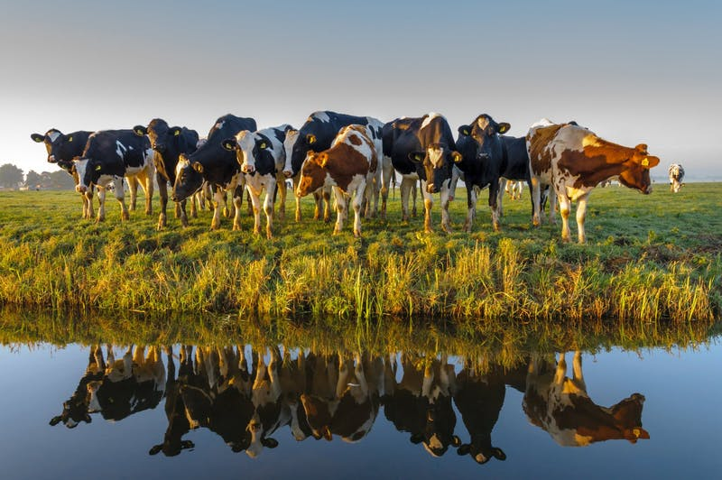 A group of curious cows in autumn morning light.