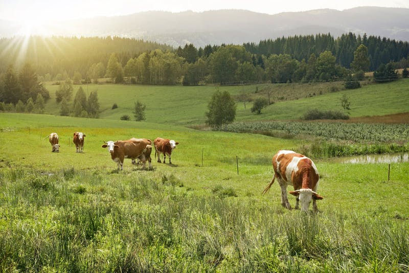 Cows on a meadow in morinng