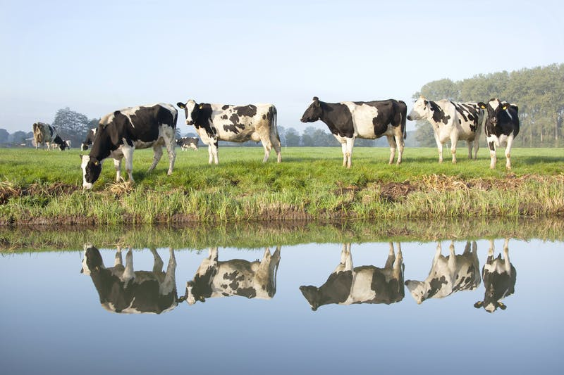 cows grazing on meadow near Zeist in Holland and reflections