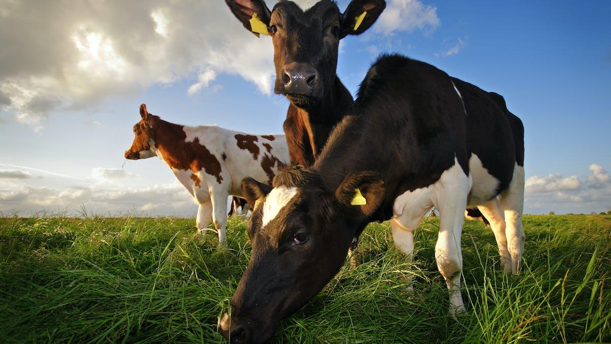 Saken är biff, del 3: köttet och djurens väl