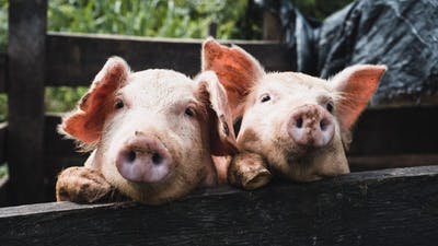 Lite sockerhistoria: Barns frukostflingor inspirerade till socker i grisfoder