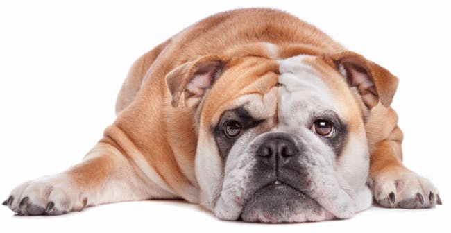 Dogs and cats getting fatter and fatter