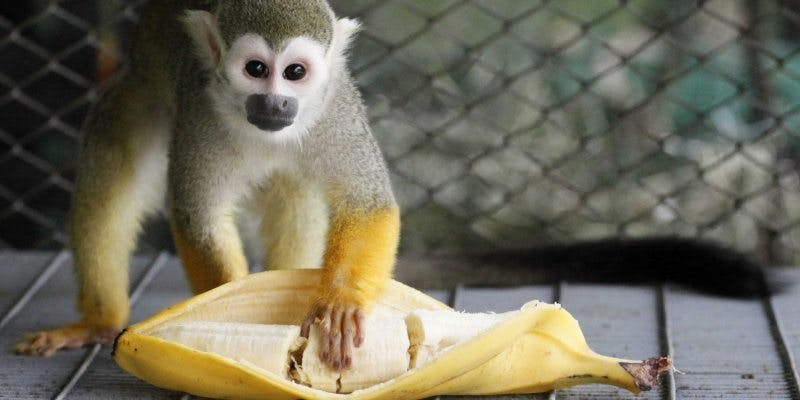Monkeys Can No Longer Have Bananas