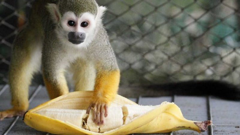 Monkeys can no longer have bananas