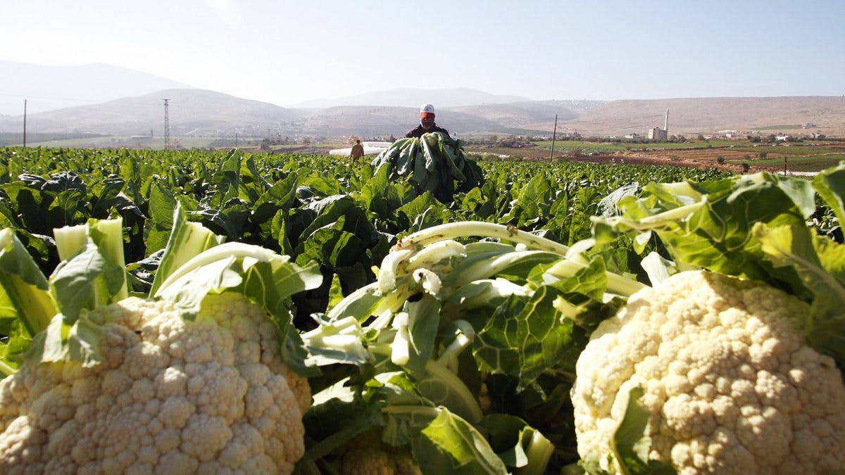 There's a cauliflower shortage in the US – guess why?