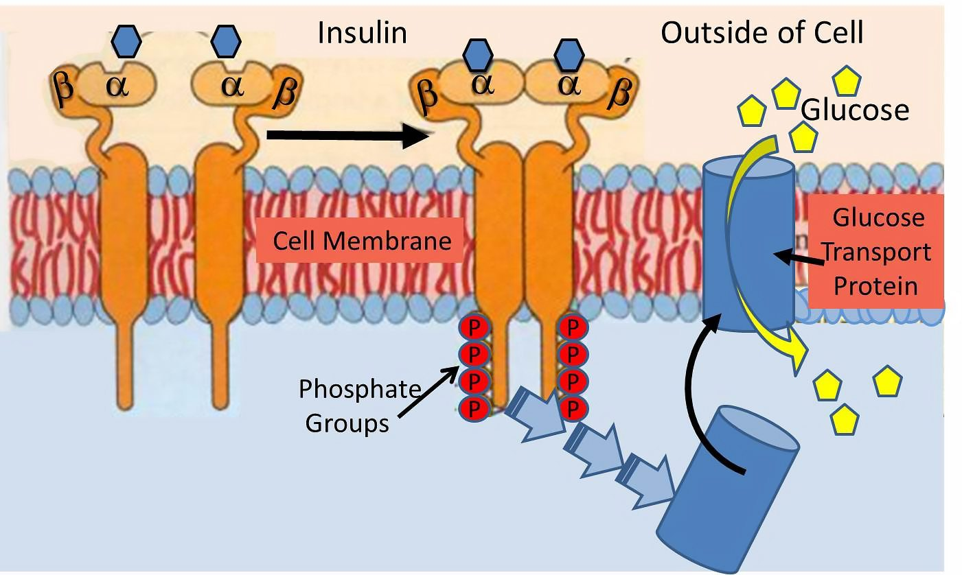 a new paradigm of insulin resistance diet doctor rh dietdoctor com insulin resistance syndrome diagram insulin resistance circuit training