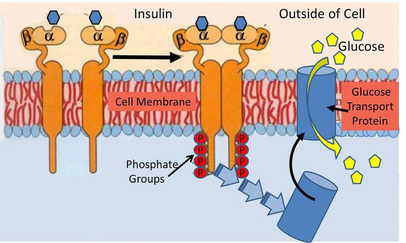 InsulinReceptor