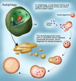 How to Renew Your Body: Fasting and Autophagy – Diet Doctor
