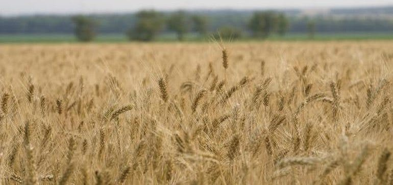 Celiac-friendly wheat could be coming up