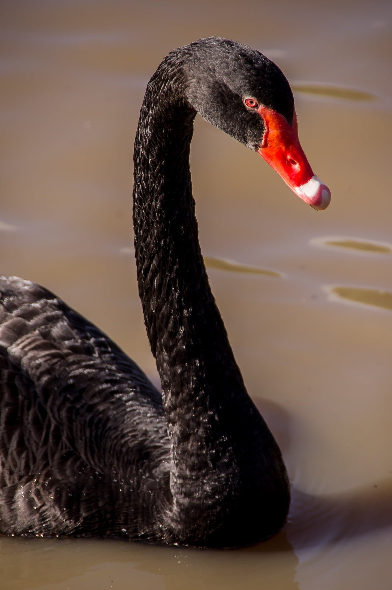 swan-945385_1920