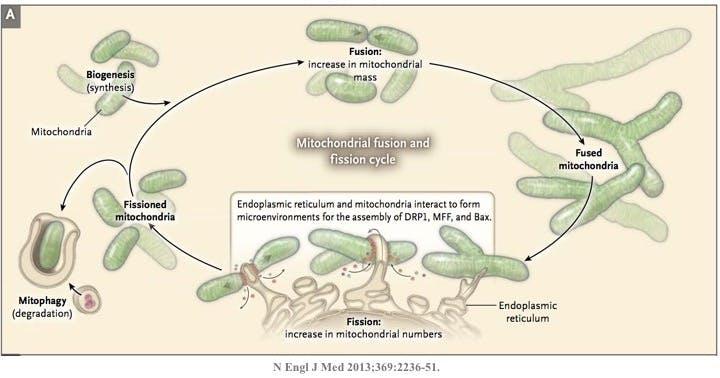 Mitochondrion3