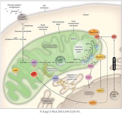 Mitochondrion4