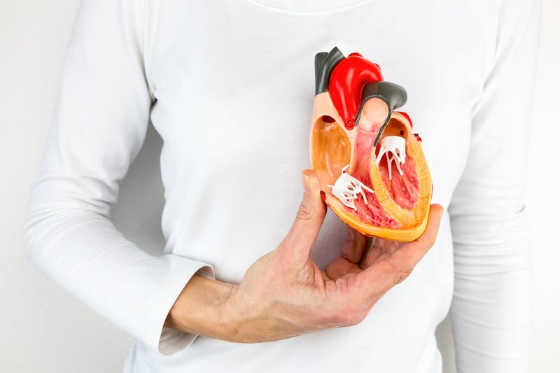 Hand holds human heart model at body