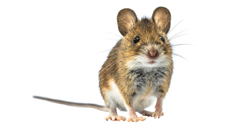 Adorable mouse isolated on white background